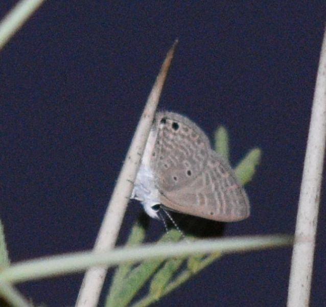 GRAM BLUE BUTTERFLY 4