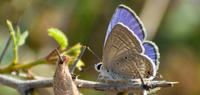 PLAIN CUPIT butterfly 2