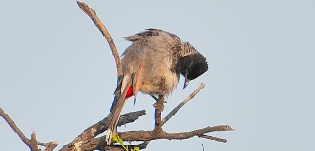 BULBUL BIRD 5