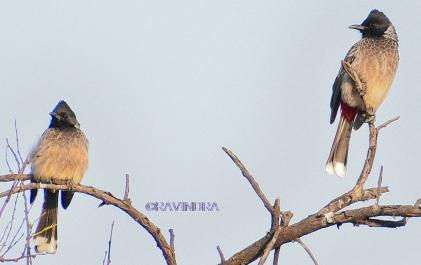 BULBUL BIRD 10