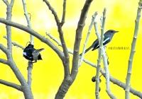 MAGPIE ROBIN BIRD