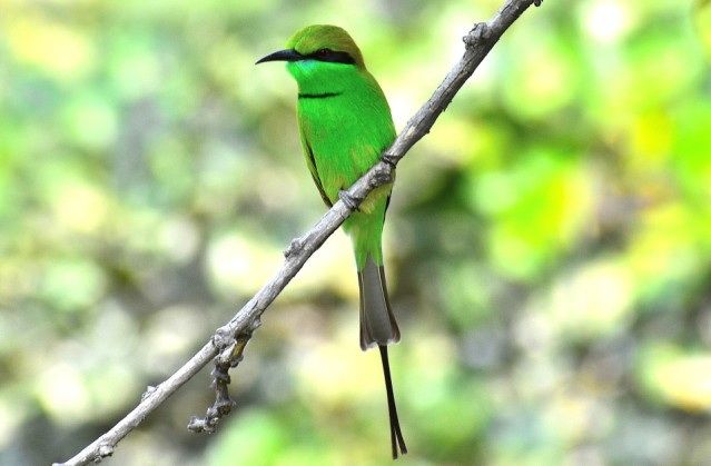 GREEN BEE EATER 10