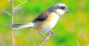 SHRIKE BIRD (BUTCHER BIRD) 7