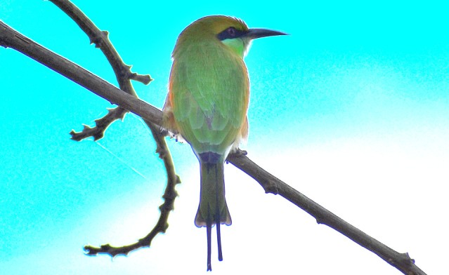 GREEN BEE EATER 2
