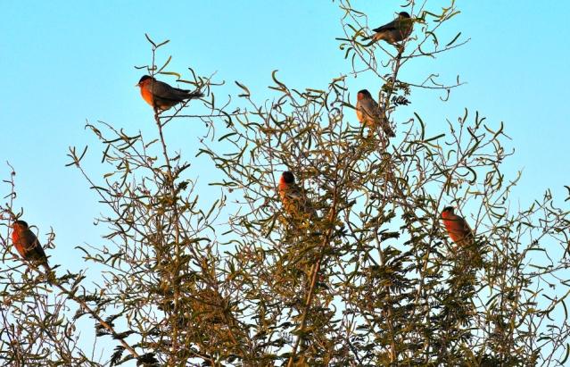 BRAHMANI MYNA BIRD 9
