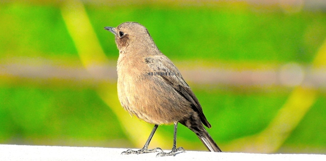 BROWN ROCK CHAT 8