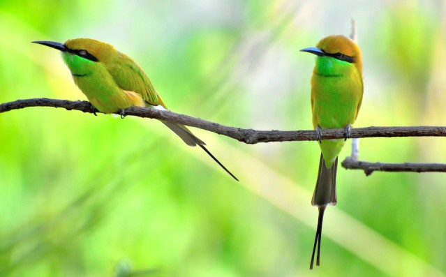 GREEN BEE EATER 13