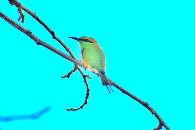 GREEN BEE EATER 3