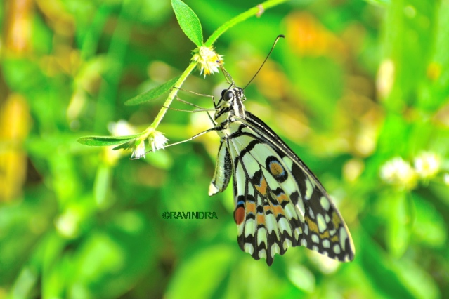 COMMON LIME BUTTERFLY 3