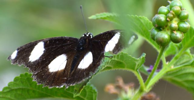 DANAID EGGFLY BUTTERFLY