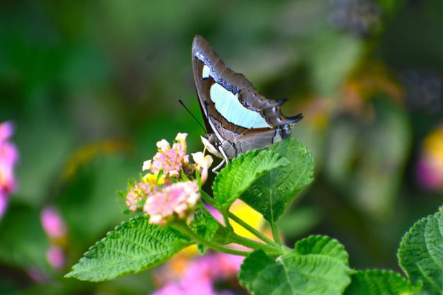 COMMON NAWAB BUTTERFLY 7