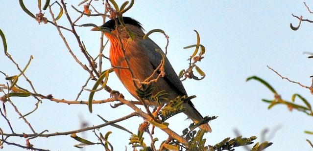 BRAHMANI MYNA BIRD 5