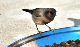 BROWN ROCK CHAT 9