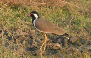 Red-wattled lapwing 1
