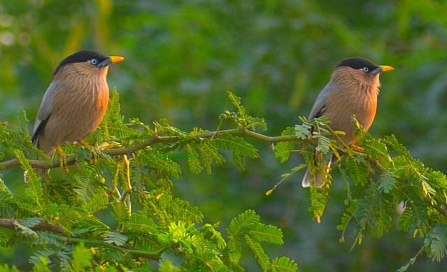 BRAHMANI MYNA BIRD 3
