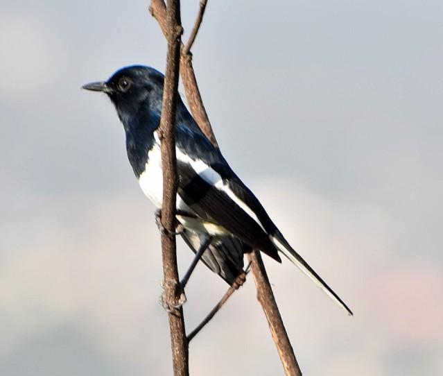 MAGPIE ROBIN BIRD 5
