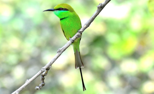 GREEN BEE EATER 8