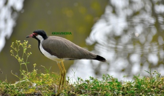 Red-wattled lapwing 2