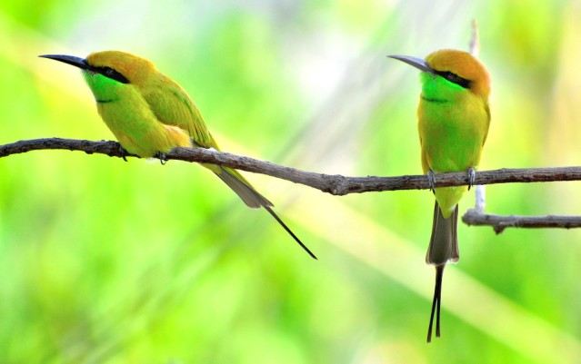 GREEN BEE EATER 14