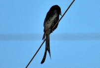 Black drongo BIRD 8