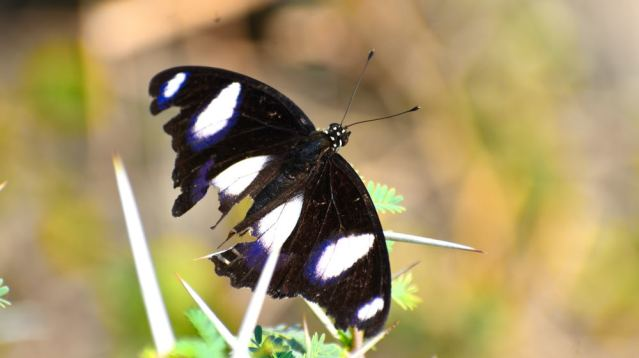 DANAID EGGFLY BUTTERFLY 1