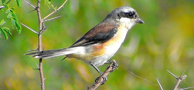 SHRIKE BIRD (BUTCHER BIRD) 4