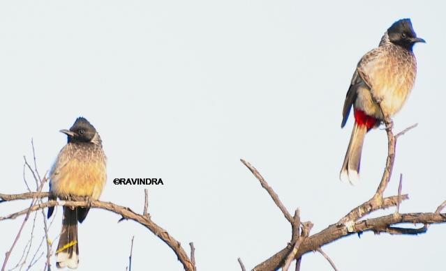 BULBUL BIRD 8