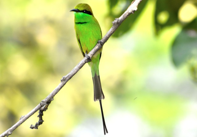 GREEN BEE EATER 5