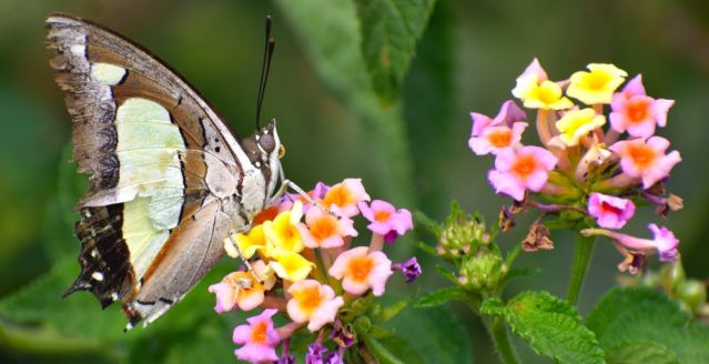 COMMON NAWAB BUTTERFLY 1