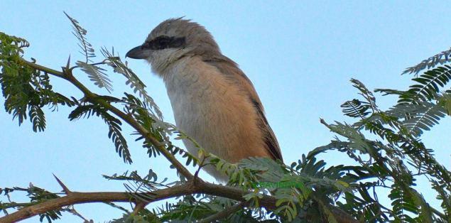 SHRIKE BIRD (BUTCHER BIRD)