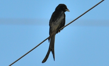 Black drongo BIRD 6