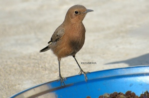 BROWN ROCK CHAT 10