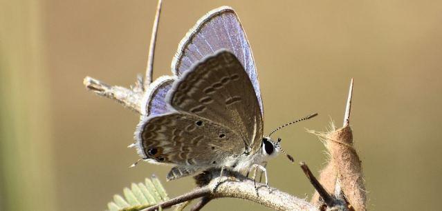 PLAIN CUPIT butterfly 4