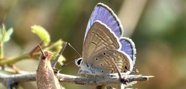 PLAIN CUPIT butterfly 3