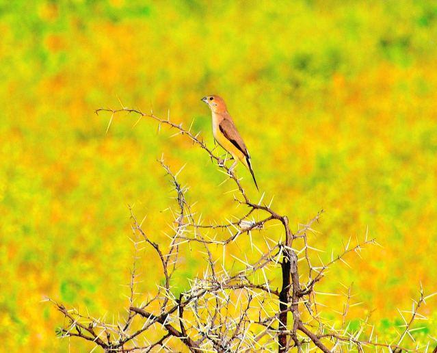 SILVER BILL BIRD