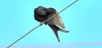 Black drongo BIRD 1