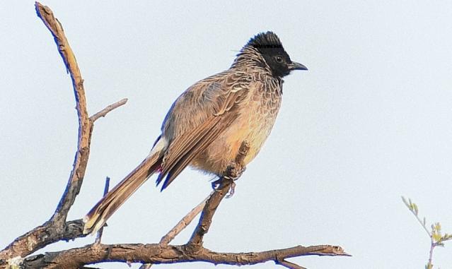 BULBUL BIRD 12