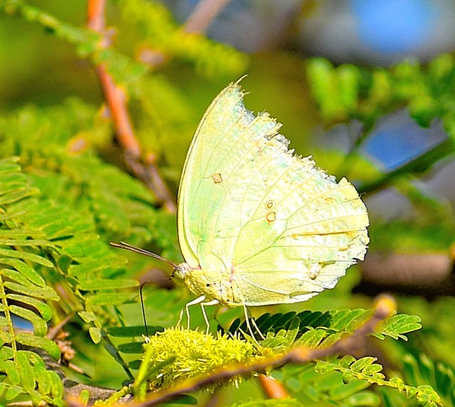 COMMON EMIGRANT BUTTERFLY 1