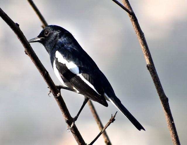 MAGPIE ROBIN BIRD 4