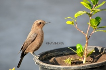 BROWN ROCK CHAT 3