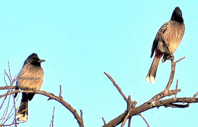 BULBUL BIRD 9