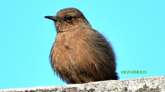 BROWN ROCK CHAT 1