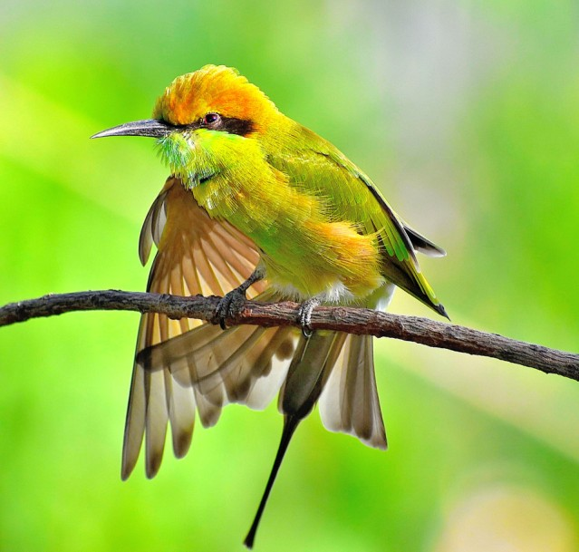 GREEN BEE EATER 16