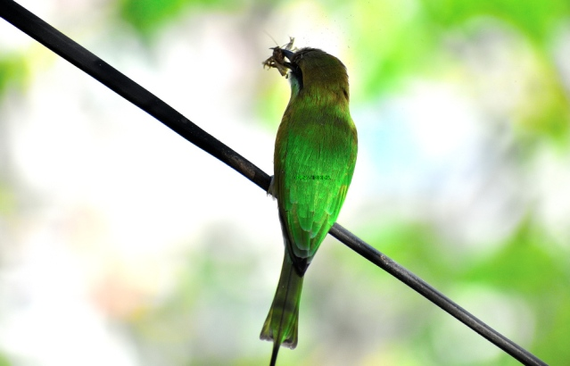 GREEN BEE EATER 21