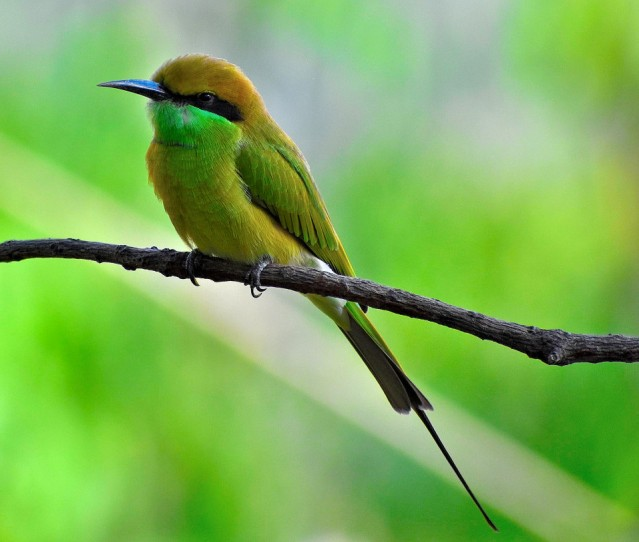 GREEN BEE EATER 11
