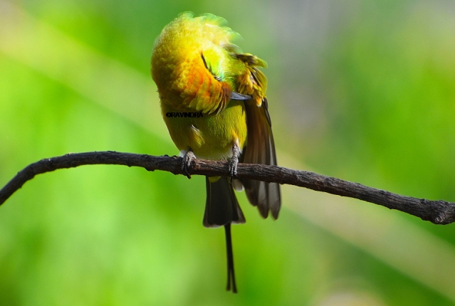 GREEN BEE EATER 19