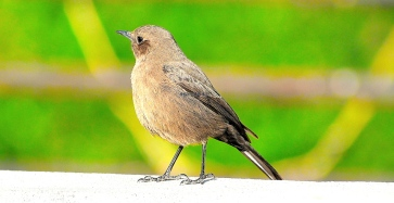 BROWN ROCK CHAT 7