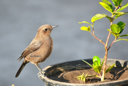 BROWN ROCK CHAT 5