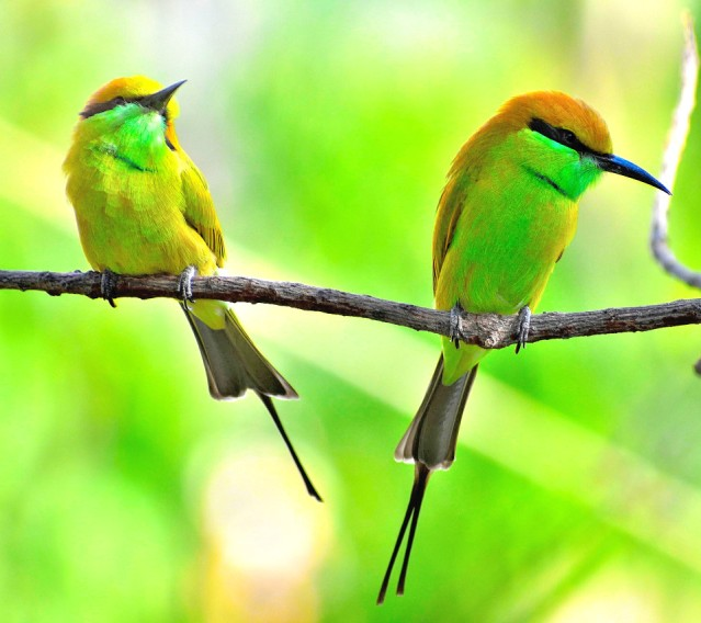 GREEN BEE EATER 15